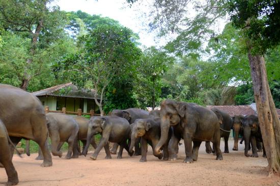 ピンナワラのゾウの孤児院の水浴びにに向かうゾウ