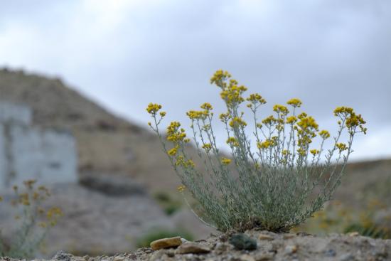 ラダックに向かう高地に咲く花