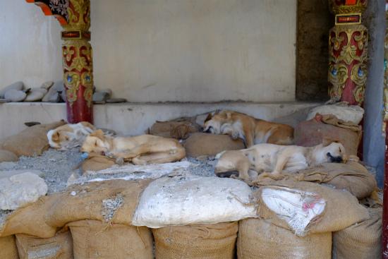 レーの街中、昼間の野良犬たち