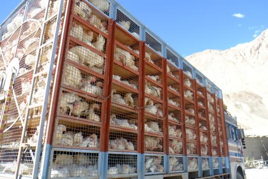 鶏を運ぶトラック