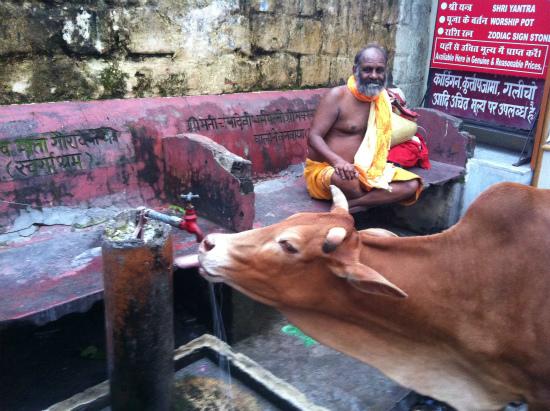 リシケシで水道水を飲む牛
