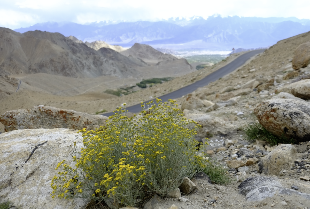 カルドンラ峠(Khardong La)からレーまでの帰り道。荒野に咲く花。