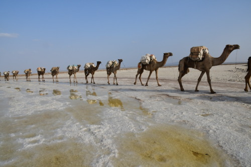 超過酷!ダナキル砂漠ツアー。塩湖でラクダのキャラバンが塩を運んでいるところ。