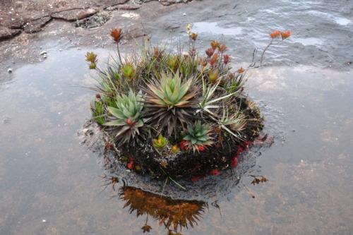 南米の秘境、ギアナ高地のロライマ山トレッキング。固有植物を見る